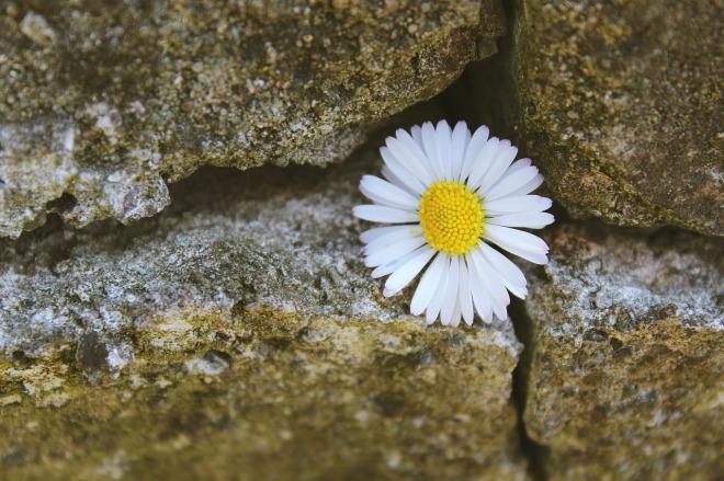 daisy-724024_1280