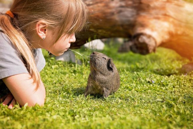 guinea-pig-792524_1280