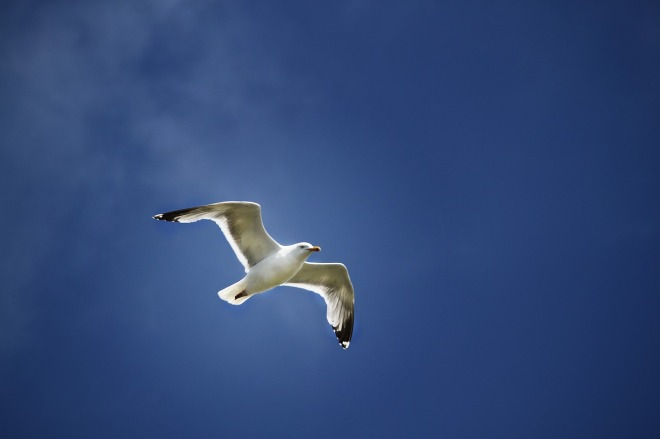 seagull-824829_1280
