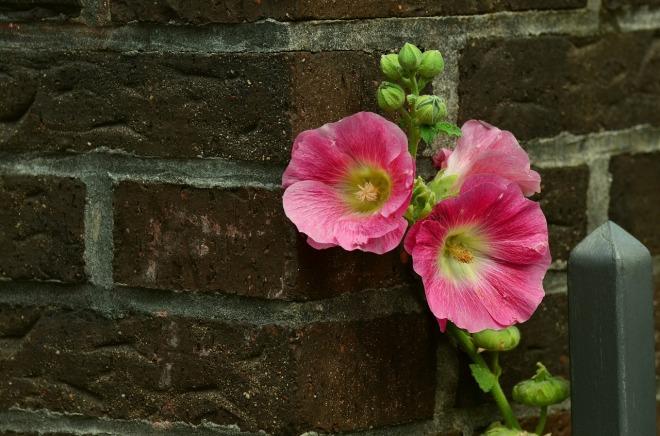 stock-rose-868178_1280
