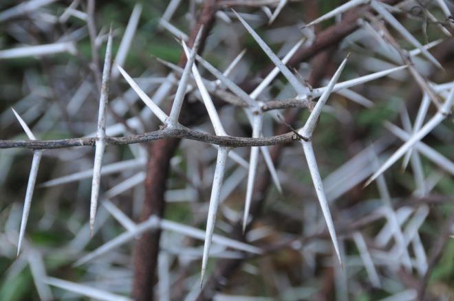 thorns-996769_1280