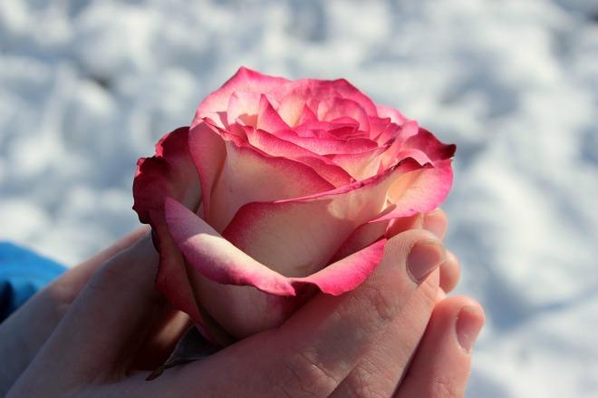 rose-1246479_1280