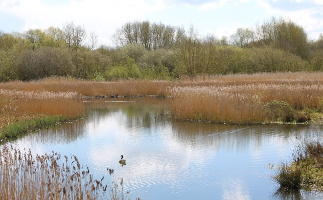 reedbed-1357445_1280