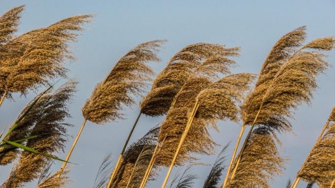 reeds-1271682_1280