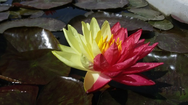 water-lily-1232048_1280