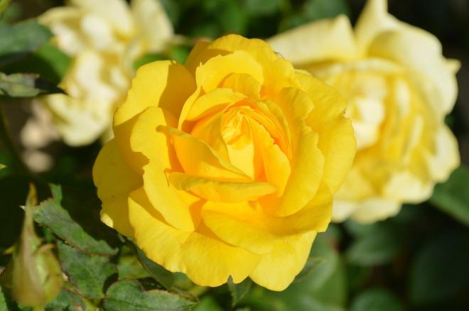 yellow-rose-196393_1280