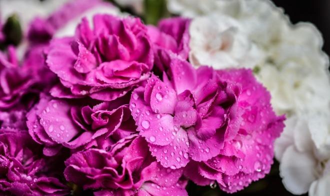 carnation-1426627_1280