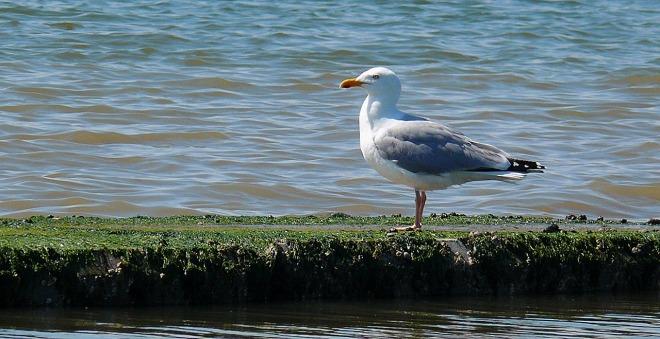 seagull-1446024_1280