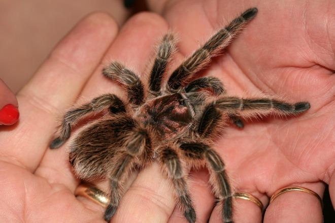 rosie-the-tarantula-1665969_1280