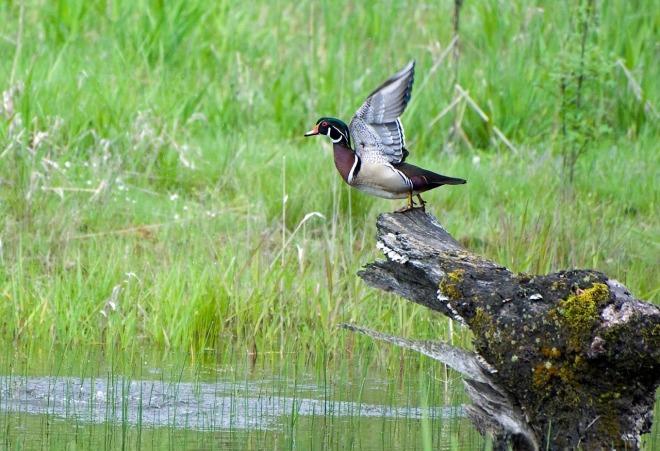 wood-duck-1740735_1280