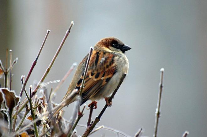 sparrow-50346_1280