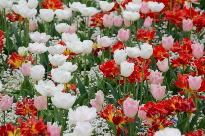 tulip-landscape-1405386_1280