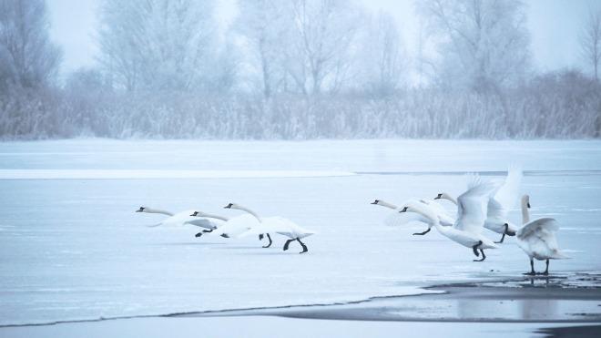 swans-1991829_1280