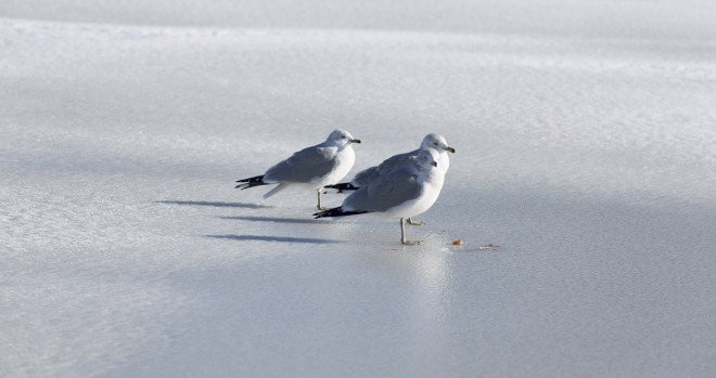 sea-gull-1162398_1280